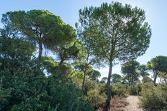 Pine forest of Algaida. It´s located in the Doñana Natural Area within the municipality of Sanlucar de Barrameda, España royalty free stock image