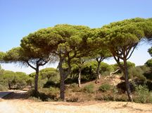 Pine forest. Andalusian beach, Costa de la Luz, Spain, 2005 Royalty Free Stock Images