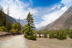 Pine forest in Annapurna trek Royalty Free Stock Photography