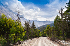 Pine forest in Annapurna trek Royalty Free Stock Photo