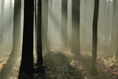 Pine forest in autumn. With the sunbeams making the way through the trees. Morning mist and sunlight creating a mysterious climate with amazing sun rays of Royalty Free Stock Photography