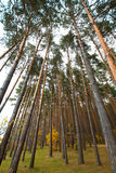 Pine forest in autumn on a cloudy day Stock Photos