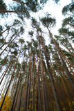 Pine forest in autumn on a cloudy day Royalty Free Stock Photos