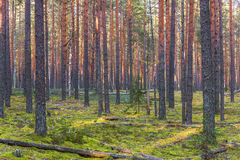 Pine forest in autumn. Autumn collecting mushrooms in a pine forest Stock Images