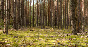 Pine forest. In autumn day stock photo
