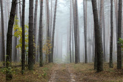 Pine forest in autumn Stock Photos