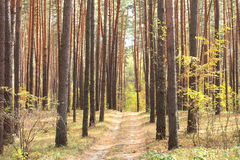 Pine forest in autumn Stock Image