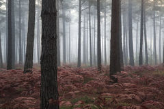 Pine forest Autumn Fall landscape foggy morning Royalty Free Stock Image