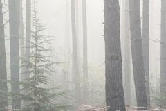 Pine forest Autumn Fall landscape foggy morning Royalty Free Stock Photo