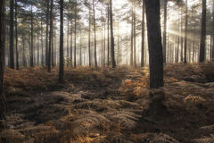 Pine forest Autumn Fall landscape foggy morning Royalty Free Stock Images