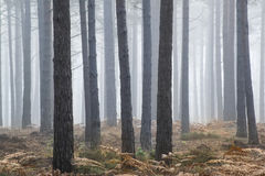 Pine forest Autumn Fall landscape foggy morning Stock Photo
