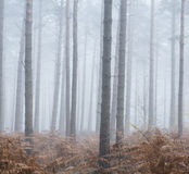 Pine forest Autumn Fall landscape foggy morning Stock Images