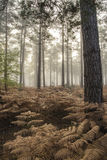 Pine forest Autumn Fall landscape foggy morning Royalty Free Stock Photos