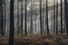 Pine forest Autumn Fall landscape foggy morning Stock Photos