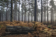 Pine forest Autumn Fall landscape foggy morning Royalty Free Stock Photography