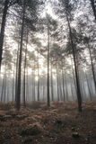 Pine forest Autumn Fall landscape foggy morning Stock Image