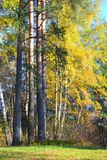 Pine forest at autumn. Stock Images