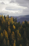Pine forest in autumn on mountain Stock Images