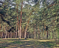 Pine forest background. European pine forest colorful background photo Stock Image