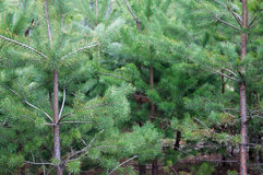 Pine Forest Background Stock Image