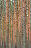 Pine forest background. Focus on trunks. Royalty Free Stock Images