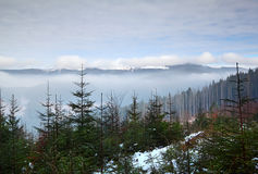 Pine forest on the background of the mountains in the fog Stock Photography