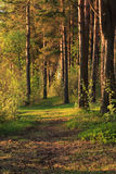 Pine Forest Background Stock Photos