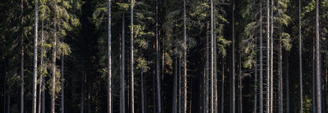 Pine Forest Background. Pine Tree Forest Cross Section. Straight Tree Trunks Stock Image