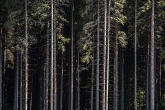 Pine Forest Background. Pine Tree Forest Cross Section. Straight Tree Trunks Stock Photography