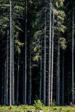 Pine Forest Background. Pine Tree Forest Cross Section. Straight Tree Trunks Royalty Free Stock Photos