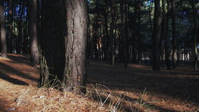 Pine Forest Background stock video