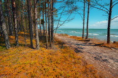 Pine forest on the beach Stock Image