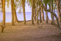 Pine forest at the beach. And golden light in the morning royalty free stock images