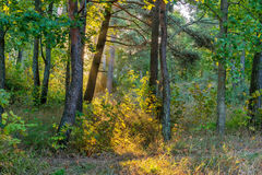 Pine forest with beams of sunlight and morning mist, Jurmala Royalty Free Stock Photography