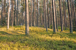 Pine Forest. In a beautiful coniferous forest. Filter in retro style Royalty Free Stock Photos