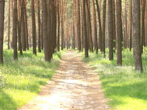 Pine forest with beautiful high pine trees in summer Stock Images