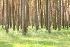 Pine forest with beautiful high pine trees in summer Stock Photos