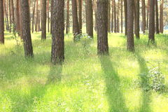 Pine forest with beautiful high pine trees in summer Stock Photo