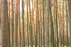 Pine forest with beautiful high pine trees in summer Royalty Free Stock Photography