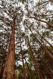 Pine forest. A beautiful pine forest at khao kor Thailand Stock Photography