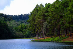 Pine forest beside beautiful lake Royalty Free Stock Photo