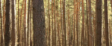 Pine forest. Beautiful panorama Royalty Free Stock Photography