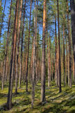 Pine forest. A beautiful pine forest in the summer stock photo