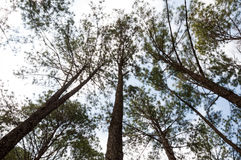 Pine forest. Beautiful pine tree in forest Royalty Free Stock Photo