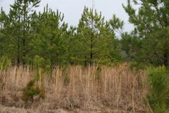 Pine Forest Beginnings in Alabama 2019 stock photo