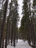 Pine forest. In Bighorn Mountains of Wyoming USA stock photography