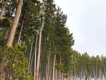 Pine forest. In Bighorn Mountains of Wyoming USA stock photos