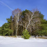 Pine forest. Birch in the pine forest in winter Royalty Free Stock Photo