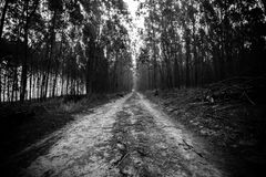 Pine forest in black and white Stock Photos