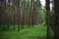 Pine forest blank forest begins to awaken in the early morning. Picturesque forest color tree herb sprigs stock photos